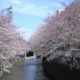 桜並木を通り