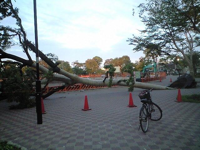 井の頭公園の大木